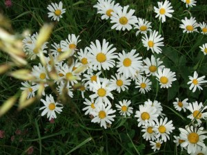 Oxeye daisy illustration for poem about chalk meadow