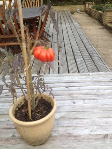 Home grown tomato, red at last!